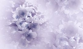 Soft light violet-blue floral background. Flowers of a cherry on a pink-white halftone background. Close-up. Greeting card. Nature stock photos