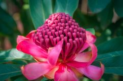 Soft light on a wild pink waratah. Flower in natural envionment at Mount Tomah Botanic Garden in the Blue Mountains, New South Wales, Australia Stock Photography