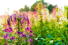 Soft lighting when sunset it got. Soft lighting when sunset is get flora beautiful full outdoor royalty free stock photo