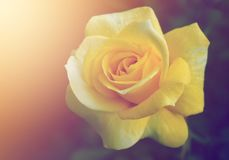 Soft lighting on yellow flower Background. Beautiful Rose Flower on soft sparkle in soft focus with filter colors use for background royalty free stock image