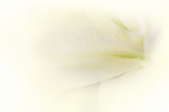 Soft lily flower Stock Images