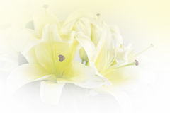 Soft lily flower Royalty Free Stock Images