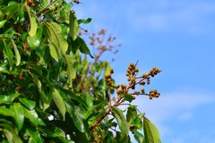 Soft Longans. On longan trees Stock Image