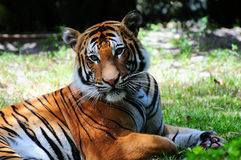 Soft-looking Tiger. Tiger lying down on the grass and looking softly at the camera stock photos