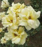 Soft, Lovely Yellow Roses stock photos