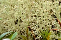 Soft lush white moss with small red tips in arctic circle autumn Royalty Free Stock Images