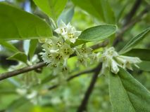 Soft macro focus delicate small flowers of Elaeagnus umbellata. Spring miracle of this blooming plant. Selective focus. Nature concept for design royalty free stock images