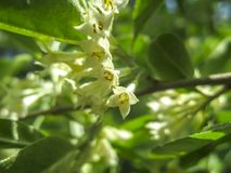 Soft macro focus delicate small flowers of Elaeagnus umbellata. Spring miracle of this blooming plant. Selective focus. Nature concept for design royalty free stock photo