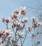 Soft magnolia Stock Image