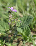 Soft or Mallow-leaved Stork's-bill Royalty Free Stock Images