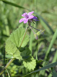 Soft or Mallow-leaved Stork's-bill Royalty Free Stock Image