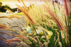 Soft mood twilight concept background of grass flower beside the Stock Image