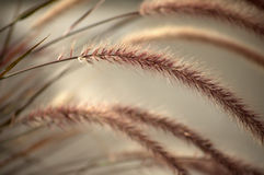 Soft morning silky rye Royalty Free Stock Photo