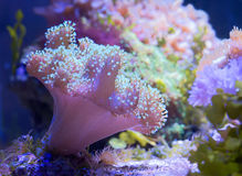 Soft mushroom sarcophyton Stock Photo