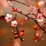 Soft natural blooming Sakura Stock Photo