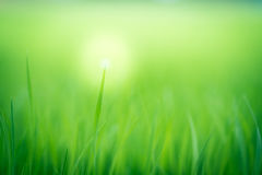 Soft natural green background. Rice crops on the rice field Stock Images