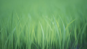 Soft natural green background. Rice crops on the rice field Royalty Free Stock Image