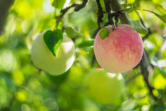 Soft Nature Background with Apple Royalty Free Stock Photo