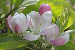 Soft nuances. The flowers of apple tree have soft color nuances Stock Photography