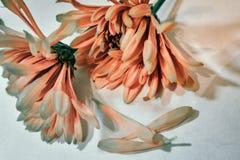 Soft oange Chrysanthemum royalty free stock image