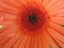 Soft Orange Flower royalty free stock images