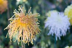Soft orange flower. Soft orange flower using as a natural background Stock Photography