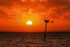 Soft Orange Glow of Setting Sun Silhouettes Osprey Nest. Silhouette of osprey nest and bird resting on perch.   Nest sits on top of a wooden post sticking out Royalty Free Stock Photo
