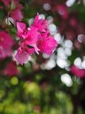 Soft pastel colour PAPER FLOWER, bougainvillea  selective focus royalty free stock photo