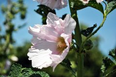 Soft pastel pink mallow flowers and leaves on stem, close up detail, blurry trees and blue sky background. Soft pastel pink mallow flowers and leaves on stem stock image