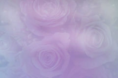 Soft Pastel Rose Backgrounds. Pastel Pink and blue background of roses royalty free stock photography
