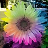 Soft pastel sunflower, photographed at Golden Gate, South Africa