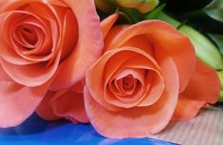 Soft peach roses Royalty Free Stock Photo