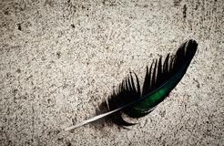 A soft peacock feather Royalty Free Stock Photos