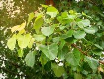 Soft peak Leaves bodhi tree stock images