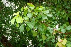 Soft peak Leaves bodhi tree stock image