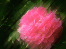 Soft Peony Background Royalty Free Stock Photography