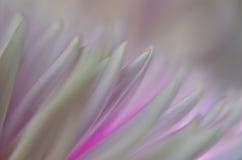 Soft Chrysanthemum Petals Stock Images