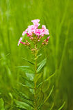 Soft phlox. The flower on soft green grass background Stock Images