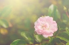 Soft photo of a beautiful rose Royalty Free Stock Image