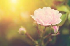 Soft photo of a beautiful rose Stock Photo