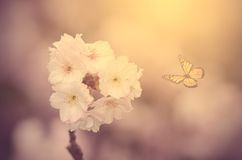 Soft photo of a cherry flower Royalty Free Stock Photos