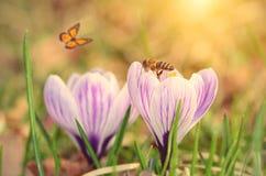 Soft photo of crocus flower stock image