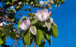 Soft pink apple blossom among green leaves and blue sky. Stock Images