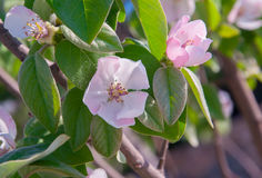 Soft pink apple blossom among green leaves. Royalty Free Stock Photos