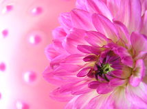 Soft pink balls. Photograph of a very beautiful pink dahlia flower with a soft pink footbal in the background Royalty Free Stock Image