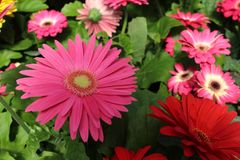Soft pink blooms of Gerbera Daisy and others Royalty Free Stock Image