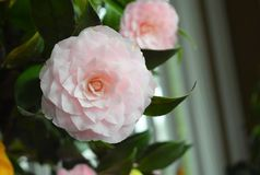 Soft pink camellia- romantic and perfect flower. Beautiful and soft colored camellia flower. Quiet, bright and happy environment. The flower petals construct stock photos