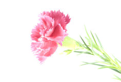 Soft pink carnation flower Stock Photo