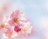 Soft pink cherry blossom in spring. Royalty Free Stock Photo