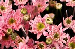 soft pink  chrysanthemum  Royalty Free Stock Photography